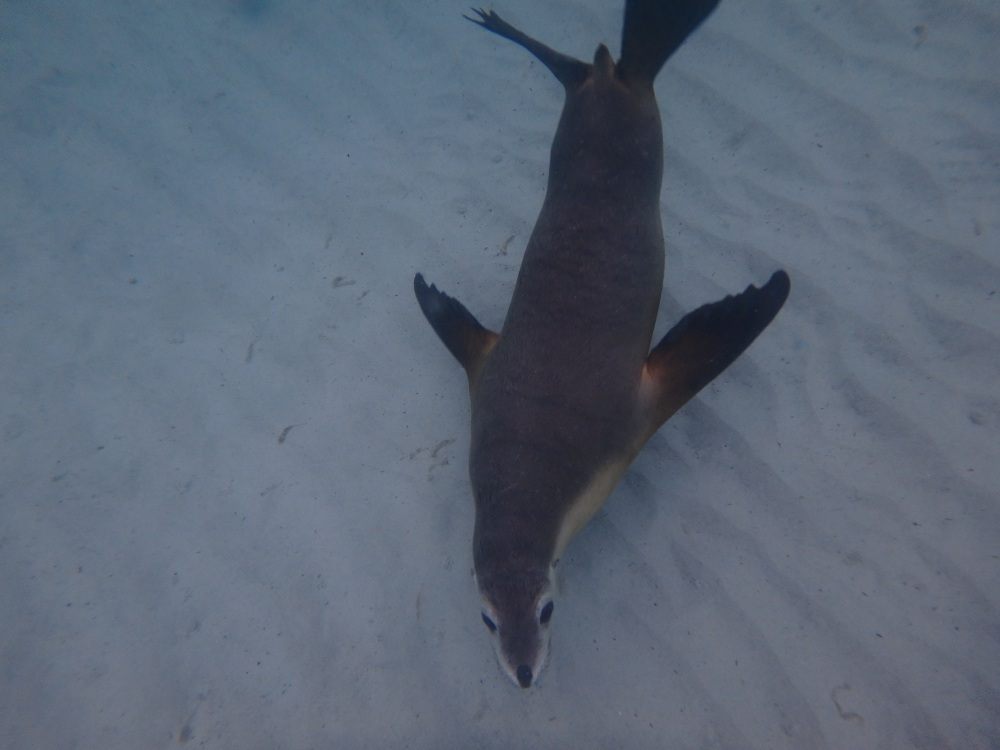 Dessous Lion de mer