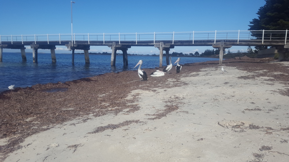 Pélicans Tumby Bay