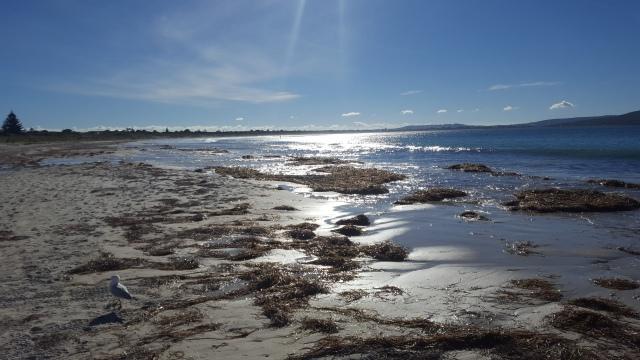 Algues Middleton Beach